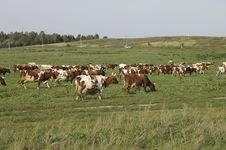 Free Cows In The Field Royalty Free Stock Photo - 6539015