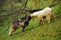 Free Goat Fight Royalty Free Stock Photos - 6542748