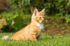 Free Kitten Sitting On A Grass Royalty Free Stock Photography - 6540057