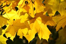 Free Autumn Yellow Leaves. Royalty Free Stock Images - 6540919