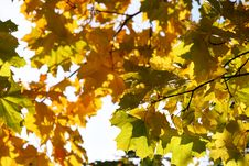Free Autumn Yellow Leaves Royalty Free Stock Image - 6540926