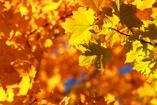 Free Autumn Maple Royalty Free Stock Photography - 6540927