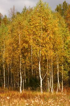 Free Birches With Orange Leaves. Stock Images - 6540944