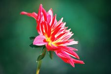 Free A Close-up Of Dahlia Royalty Free Stock Image - 6541086