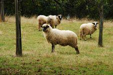 Free Sheep Royalty Free Stock Photography - 6542627