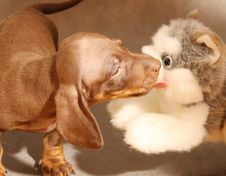 Free Cute Dachshund  Puppy With Toy Dog Royalty Free Stock Image - 6542976