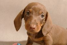 Free Cute Dachshund Puppy Stock Image - 6542981