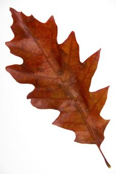 Free Red Leaf Royalty Free Stock Photos - 6543018