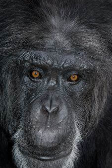 Chimp Face Royalty Free Stock Photography