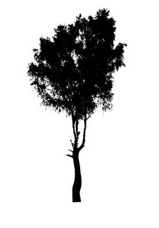 Free Silhouette Of The Birch Stock Image - 6545481