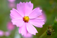 Free Pink Cosmos Flower. Stock Photos - 6545563