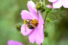 Free Pink Cosmos Flower And Bee. Stock Photos - 6545603