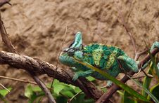 Free Green Veilied Chameleon Stock Photography - 6545892