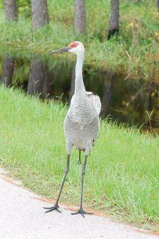 Free Crane, Sandhill Stock Image - 6545921