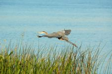 Free Egret In Flight. Stock Images - 6545964
