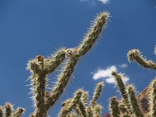 Free Prickly, Staghorn Cholla Against Blue. Stock Image - 6546091