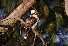 Free A Kookaburra Royalty Free Stock Photo - 6546125