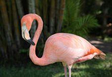 Free Pink Flamingo Royalty Free Stock Photo - 6546755