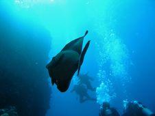 Fish Sailfin Tang And Divers Royalty Free Stock Image