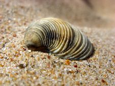 Free Cockleshell On A Sand. Stock Photo - 6547920