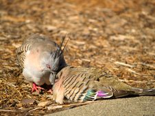 Two Crested Pigeons Stock Photo