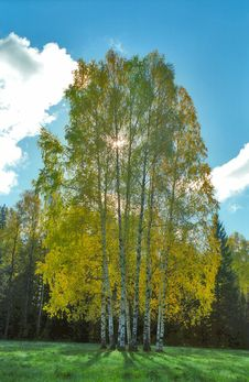 Free Autumn Birches Against Sun Royalty Free Stock Images - 6548709