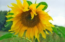 Free Sunflower Close-up Stock Images - 6548744