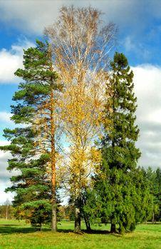 Three Trees Close-up Royalty Free Stock Photo