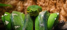 Free Corallus Caninus Stock Photography - 6549682