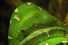 Free Corallus Caninus Royalty Free Stock Image - 6549696