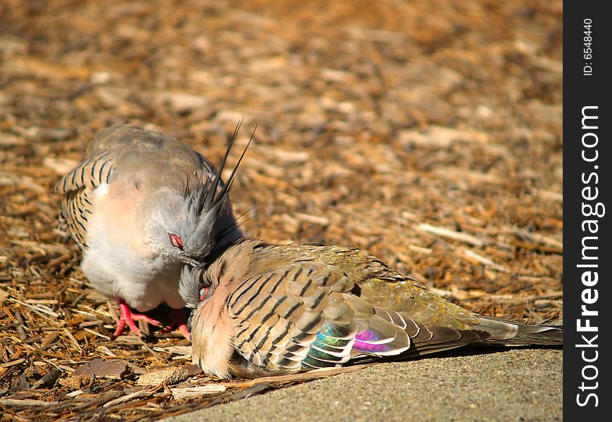 Two crested pigeons