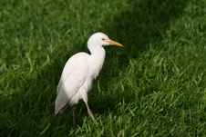 Free Cattle Egret Stock Photos - 6552533