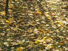 Free Fallen Leaves Royalty Free Stock Images - 6552739