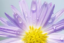 Free Daisy With Dew Royalty Free Stock Photo - 6553155