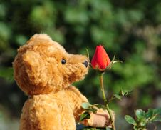 Teddy Bear And Rose Bud Stock Photo