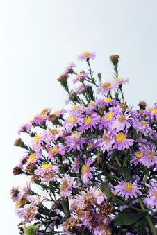 Free Flower - Daisy Stock Photos - 6553283