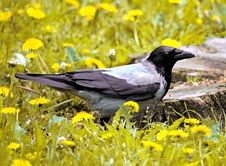 Free Crow Stock Photos - 6554843