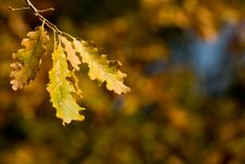 Free Oak Leaves In Autumn Royalty Free Stock Photo - 6555115