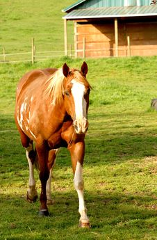 Horse In A Paddock Royalty Free Stock Photo