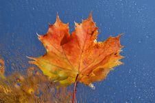 Free Maple Leaf Stock Photography - 6558792