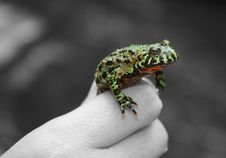 Free Frog On Hand Royalty Free Stock Photos - 6559758