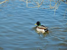 Free Male Mallard Ducks Royalty Free Stock Photo - 65530075