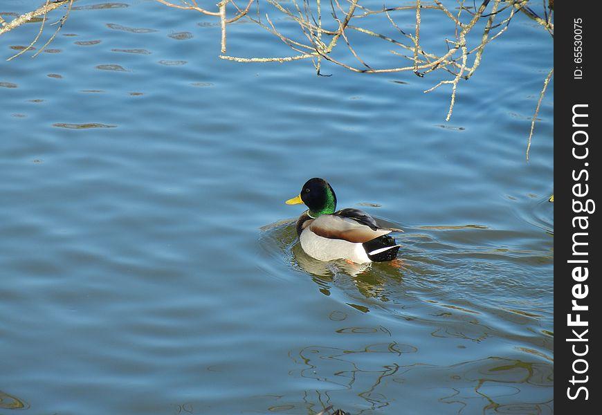 Male Mallard Ducks