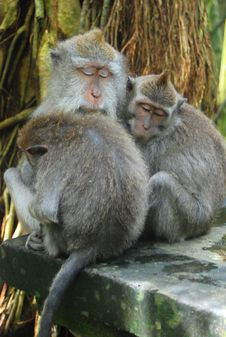 Monkeys Hugging And Sleeping Together Stock Images