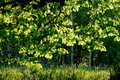 Free Backlit Chestnut Leaves Royalty Free Stock Image - 6560446