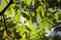 Free Chestnut Tree Royalty Free Stock Image - 6561416