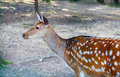 Free Spotted Deer Female Stock Photography - 6564492