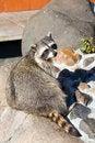 Free Raccoon Stock Photos - 6565023