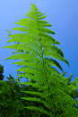 Free Leaf Of The Fern On A Background Of The Blue Sky Royalty Free Stock Photography - 6565127