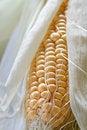 Free Fresh Corncob Sweetcorn With Leaves Royalty Free Stock Photo - 6568625